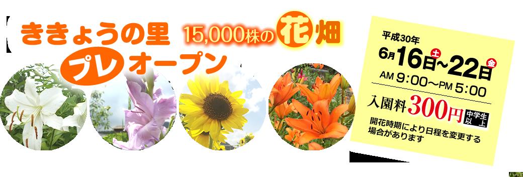 ききょうの里15,000株の花畑プレオープン 平成30年6月16日土曜日~22日金曜日 午前9時~午後5時 入園料300円(中学生以上)開花時期により日程を変更する場合があります